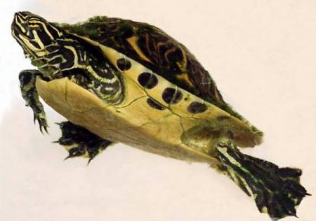 Las tortugas de agua