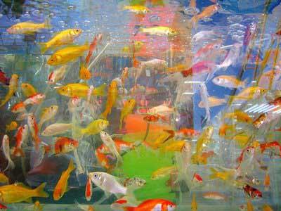 I mascotas es peces de agua fria o caliente i mascotas es for Peces colores agua fria
