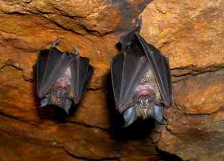 La fisonomía de los murciélagos