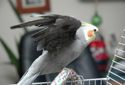 Cuidados y accesorios necesarios para tener un ave como mascota